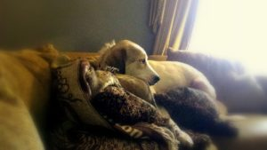 Anoush the Anatolian Shepherd Dog taking refuge on the couch