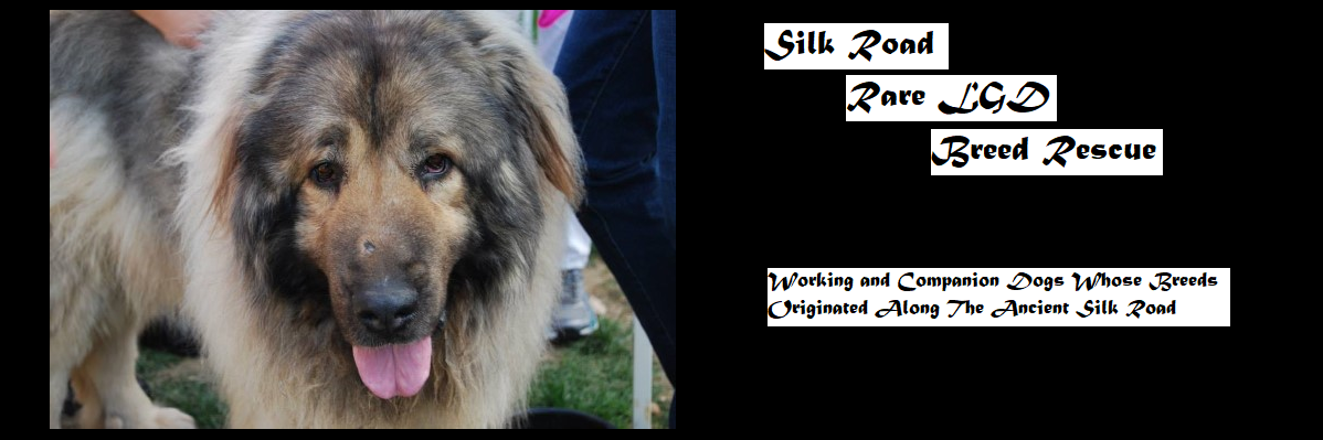 Silk Road Rare LGD Breed Rescue. Caucasian Ovcharka Dog.